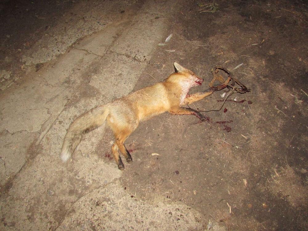 Охота на лис с манком или с собаками