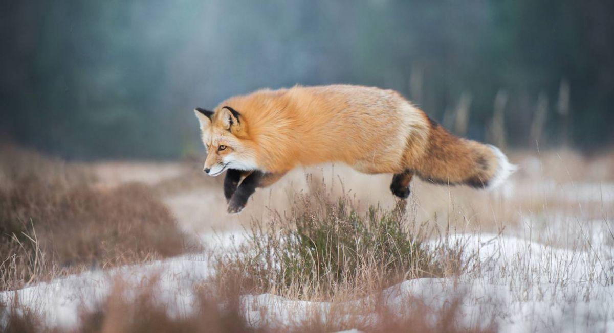 Охота на лису в Украине